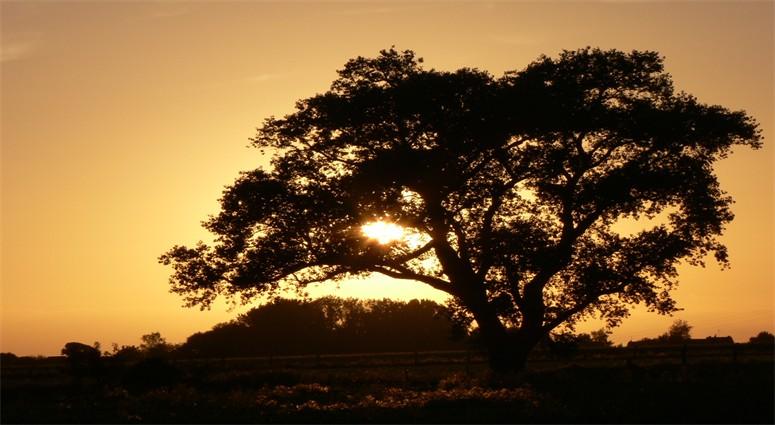 A Bellaing, le peuplier repère, l'arbre des celtes,