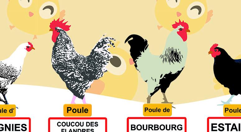 Le SIAVED recherche encore 80 foyers pour adopter un duo de poules régionales