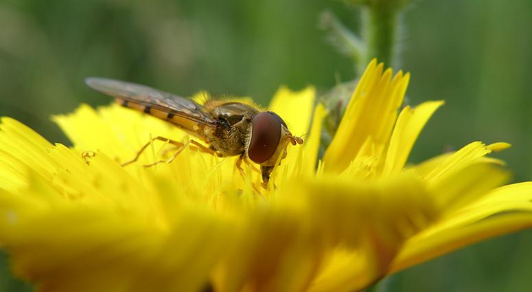 Les pollinisateurs «en quête» d'identification au PNR Scarpe-Escaut